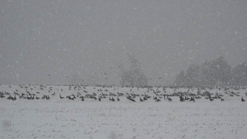 January snowfall with geese in a cornfield
